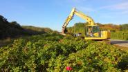 Natuur en Bos maakt zes hectare duinengebied exotenvrij tussen Knokke en De Haan
