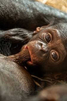 Le bébé bonobo de Planckendael est une femelle, le public peut choisir un nom