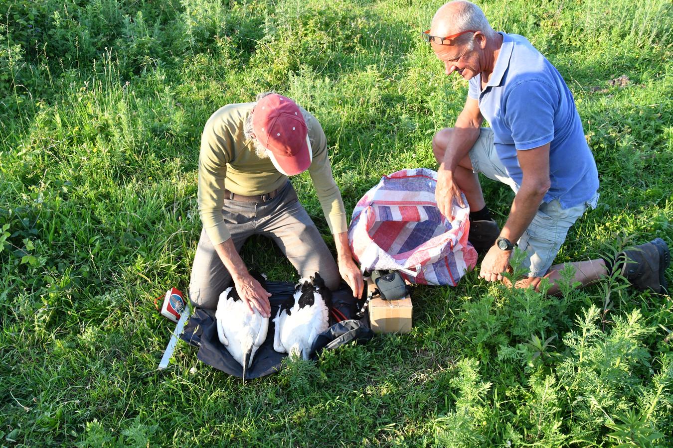 Holmer Vonk (l) van het vogeltrekstation Wageningen en Harry Hampsink uit Kekerdom ringen de uivers.
