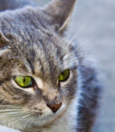 Dierenartsen waarschuwen voor dodelijke kattenziekte in Ermelo en Harderwijk
