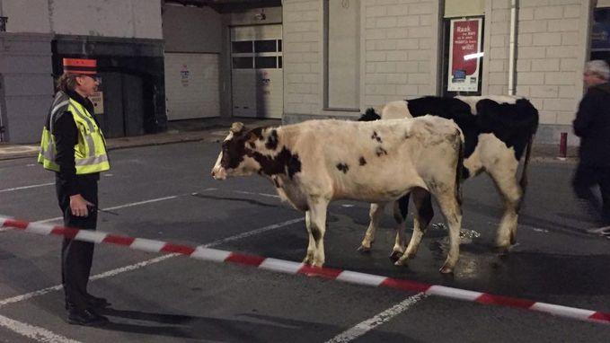 Koeien op wandel in stationsbuurt Geraardsbergen
