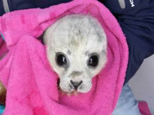 Kleinste zeehondenpup ooit in Pieterburen