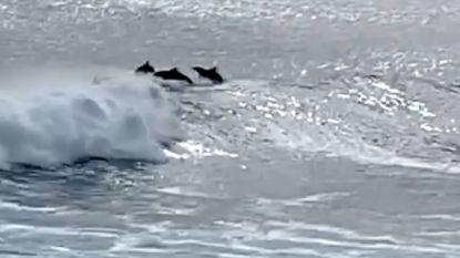 Surfende dolfijnen genieten van de golven in Australië