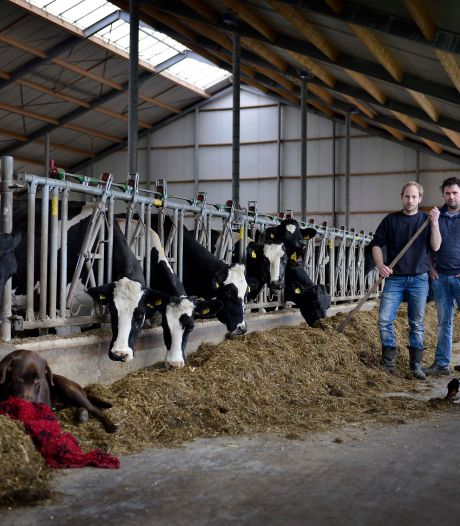 'Ik kan in de stallen beter wiet gaan telen dan koeien melken'