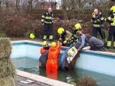 Paard belandt in zwembad door open gewaaid hek, brandweer redt dier uit water