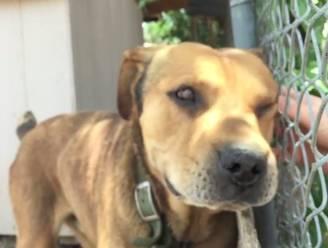 Tien jaar lang lag deze hond aan de ketting, nu proeft hij voor het eerst van vrijheid