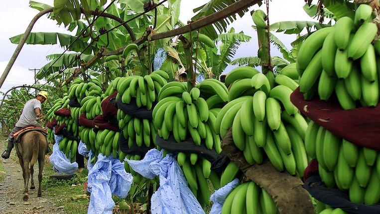 Bananenoogst in Panama Beeld reuters