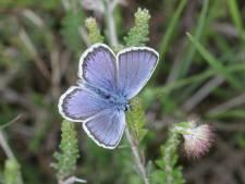 Het heideblauwtje wacht op natuurherstel in Oost-Nederland