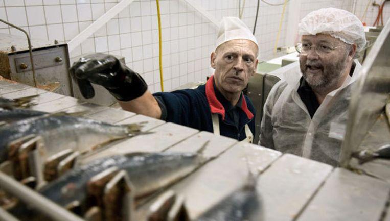 Volgens het Nederlands Visbureau is de haring vetter dan vorig jaar en zijn er minder kleine exemplaren. De groei is een gevolg van het goede weer in de afgelopen maanden. Foto GPD Beeld