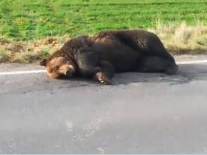 Un ours agonise sur le bord de la route pendant 17 heures, un préfet roumain limogé