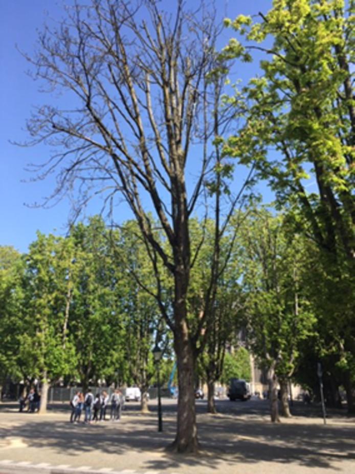 Deze kastanjeboom wordt in de loop van donderdagmiddag weggehaald.