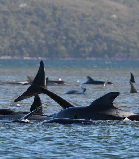 Des centaines de cétacés coincés dans une baie de Tasmanie
