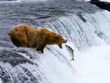 L'augmentation de la température des rivières aurait causé la mort de milliers de saumon en Alaska