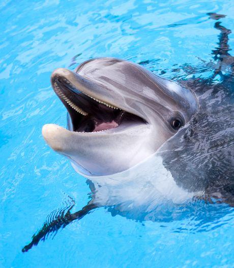 Groepen hitsige dolfijnstieren zingen op 'boyband-achtige' manier om vrouwtje te lokken