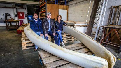 Per stuk 4,2 meter lang en 176 kilo zwaar : kaakbenen van vinvis Antonius zijn terug in De Haan