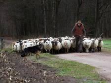 Winterswijk wil schaapskudde van markante herder redden: 'Stel grond beschikbaar'