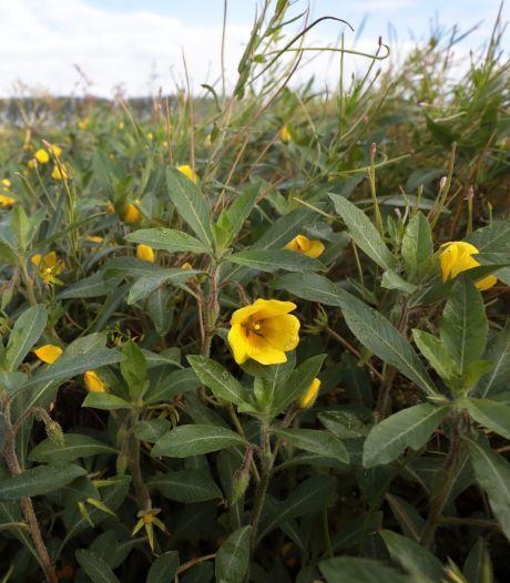 De exotische waterteunisbloem bedreigt de flora en fauna van de Biesbosch