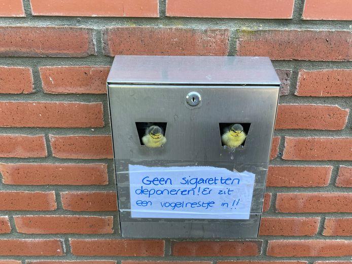 Pimpelmees in asbak Sint-Oedenrode (hoge resolutie) Een paartje pimpelmezen heeft een nestje gebouwd in een asbak bij het bedrijf Destiny