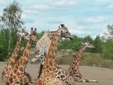 Beekse Bergen houdt het hoofd koel: 'Hitte zit bij onze dieren in de genen'