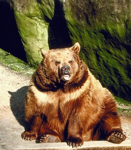 Nederlands gezin ontsnapt in dierentuin Zweden aan losgebroken bruine beer