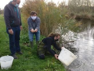 """19.000 kroeskarpers uitgezet in kanaal: """"Dit herstelproject is erg belangrijk voor het in stand houden van de vissoort"""""""