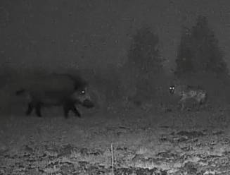 Camera's leggen unieke ontmoeting vast tussen wolven en everzwijn