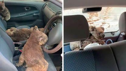 Prachtig gebaar! Tieners stouwen auto vol met koala's die ze hebben gered van bosbranden
