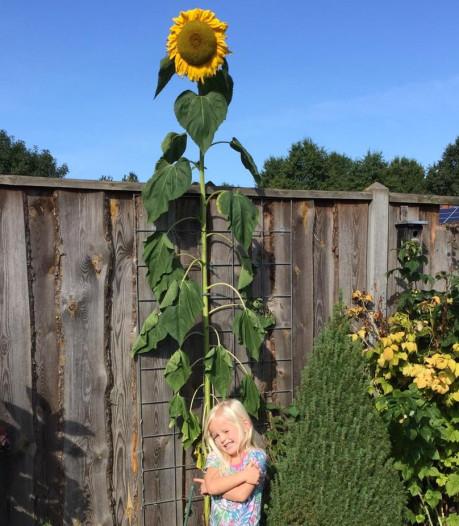 Gigantische zonnebloem: Mirthe Meulman kweekt hoogste van Rijssen