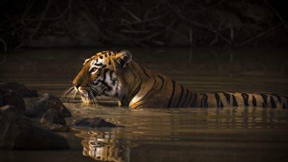 Voor het eerst in 15 jaar weer meer tijgers in Bangladesh