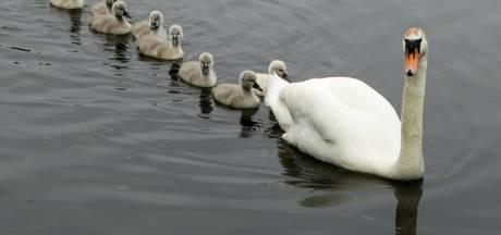 Waar zijn de 8 jonge zwaantjes in Waterpark van Oosterhout gebleven?
