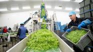 23ste Week van de Groentestreek plaatst Katelijnse groenteteelt in de schijnwerpers