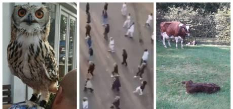 Zorgpersoneel in Nijverdal doet Afrikaanse dans en Beltrumse koe heeft bijzondere verrassing