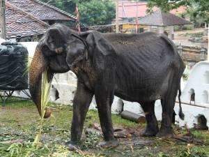 """Un éléphant squelettique forcé de défiler à un festival: """"Personne ne voit les larmes dans ses yeux"""""""
