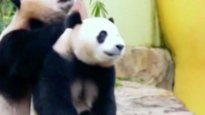 Chinees Nieuwjaar bij enige panda drieling