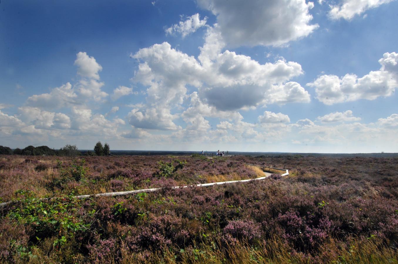 De wandelingen voeren ook langs de momenteel bloeiende heide op de Sallandse Heuvelrug.