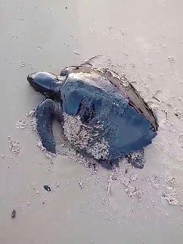 Een met olie besmeurde zeeschildpad op het strand van Itatinga in Alcantara in de deelstaat Maranhão. Beeld Julio Deranzani Bicudo via REUTERS