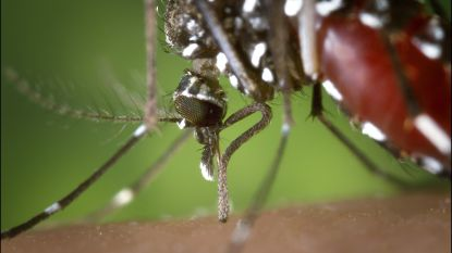 Muggen die niet prikken? Slechts 1 gen dat die droom dwarsboomt