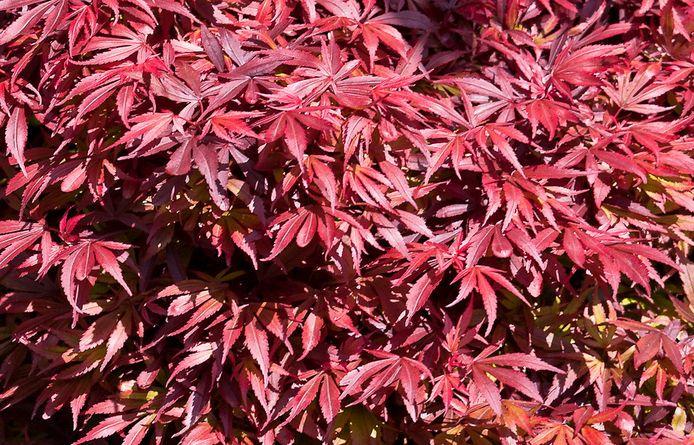 Ook struiken slaan in oktober prima aan, zoals de Japanse esdoorn,