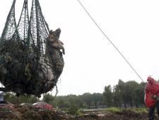 Déjà 13.000 porcs repêchés dans le fleuve de Shanghai