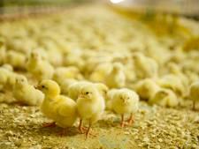 Megaboete  voor frauderende kippenboer in Woudenberg