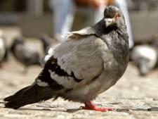 Onderzoekje naar pil voor Tilburgse duiven