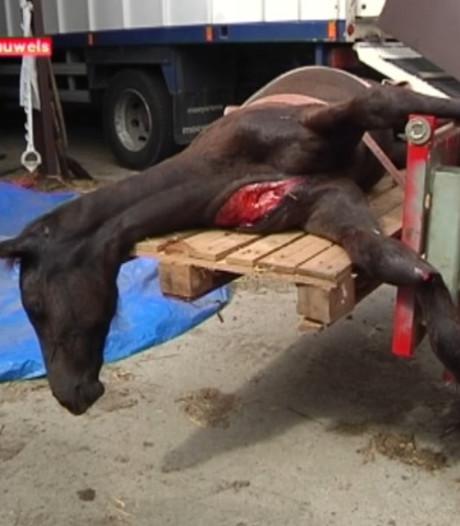 Twee veulens zwaar mishandeld in Belgische wei