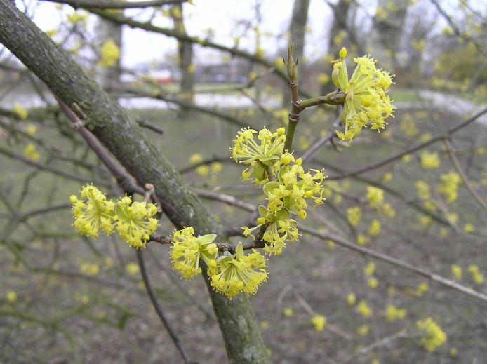 De gele kornoelje is een van de boomsoorten die de gemeente Arnhem in geselecteerde wijken wegeeft.