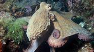 Vlaamse sportduikers spotten voor het eerst octopus in Zeeland