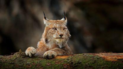 Na wolven nu ook lynxen op weg naar België