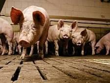 Dood varkens sterkt Haarense milieuclub in verzet tegen extra stal