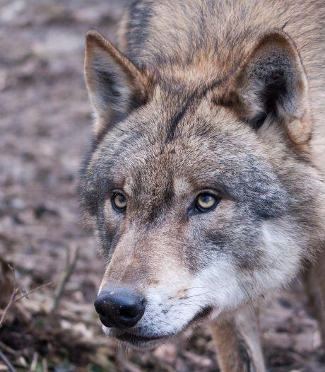 Wolf op de A35? 'Het kan, maar het kan ook een hond zijn'