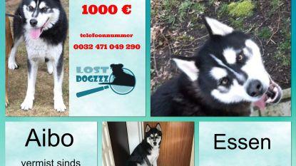 Baasje verdwenen husky looft 1.000 euro beloning uit