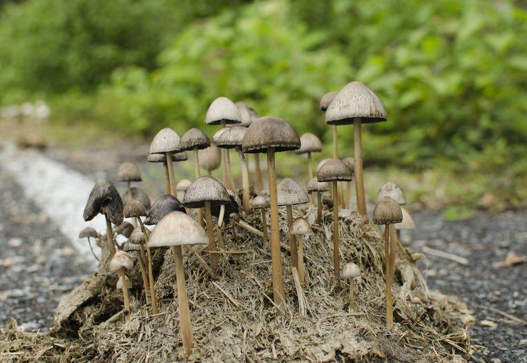 """""""Een behandeling om het half jaar met psilocybine, de werkzame stof in paddo's, zou in de plaats kunnen komen van dagelijkse"""