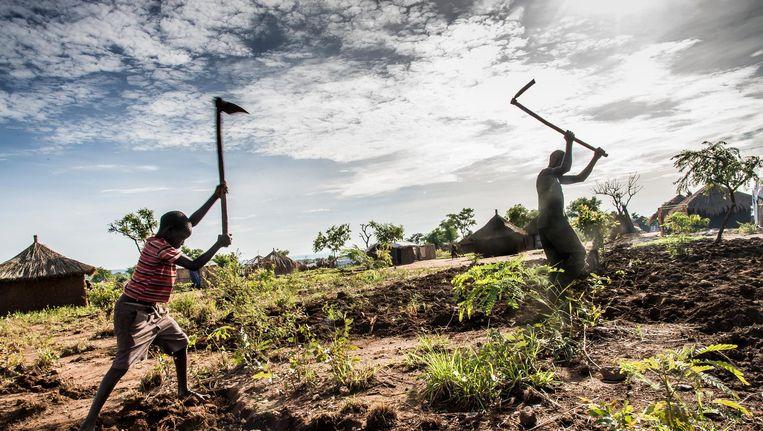 Vluchtelingen uit Zuid-Soedan verbouwen een stukje gegeven grond. Beeld Frederic Noy